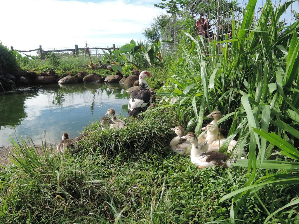 2016:06:02 Haiku Maui Hawaii Leilani Farm Animal Sanctuary VeganTravel Duck Pond