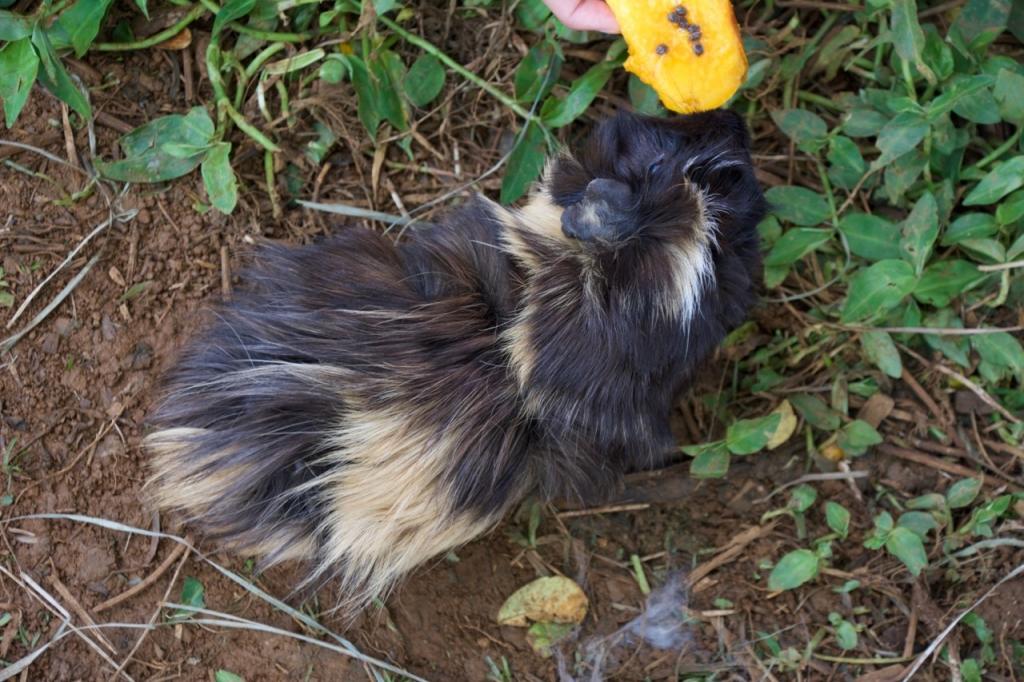 2016:06:02 Haiku Maui Hawaii Leilani Farm Animal Sanctuary VeganTravel Guinea Pig
