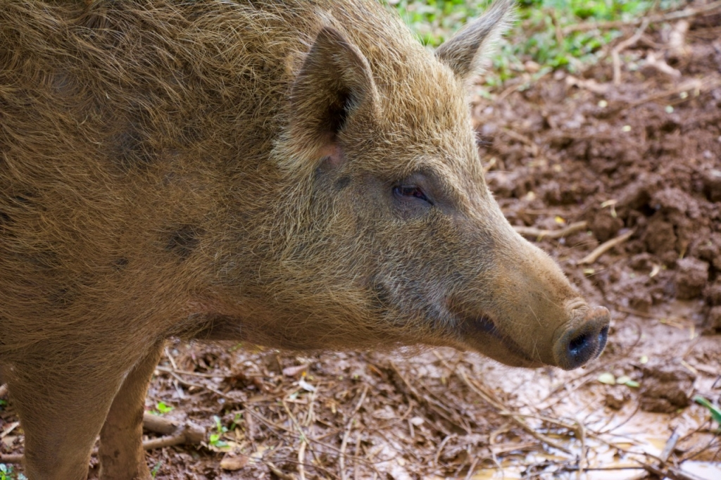 2016:06:02 Haiku Maui Hawaii Leilani Farm Animal Sanctuary VeganTravel Pig