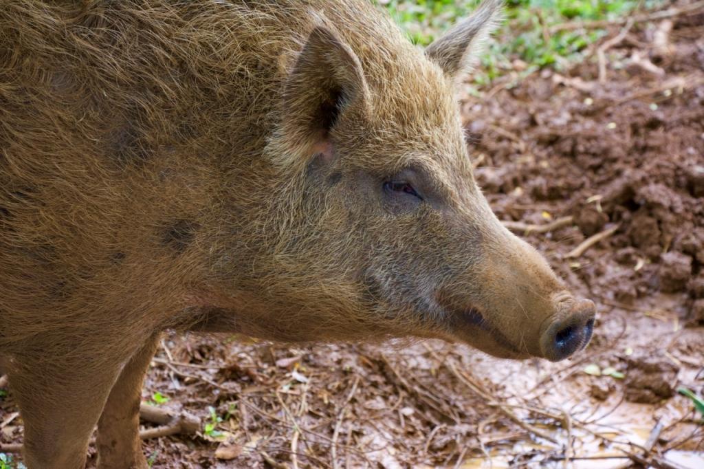2016:06:02 Haiku Maui Hawaii Leilani Farm Animal Sanctuary VeganTravel Pig