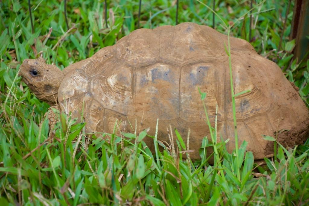 2016:06:02 Haiku Maui Hawaii Leilani Farm Animal Sanctuary VeganTravel Tortoise