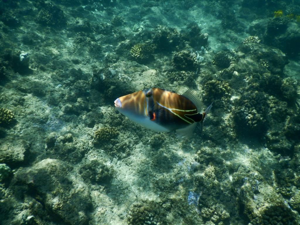 2016:05:29 Kaananpali Black Rock Beach Snorkeling Vegantravel Hawaii State Fish Humuhumunukunukuapua'a