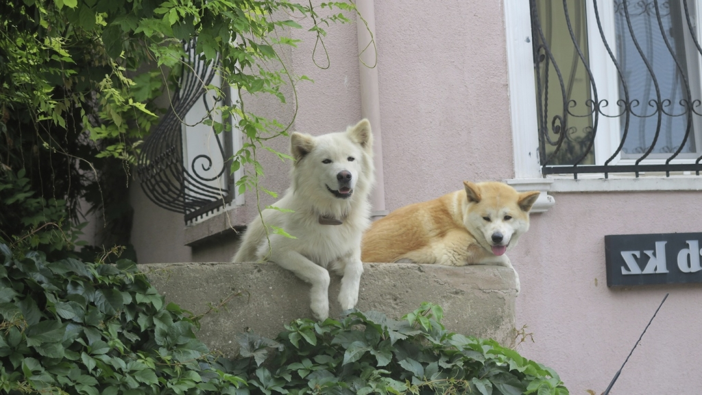Istanbul_stray dogs