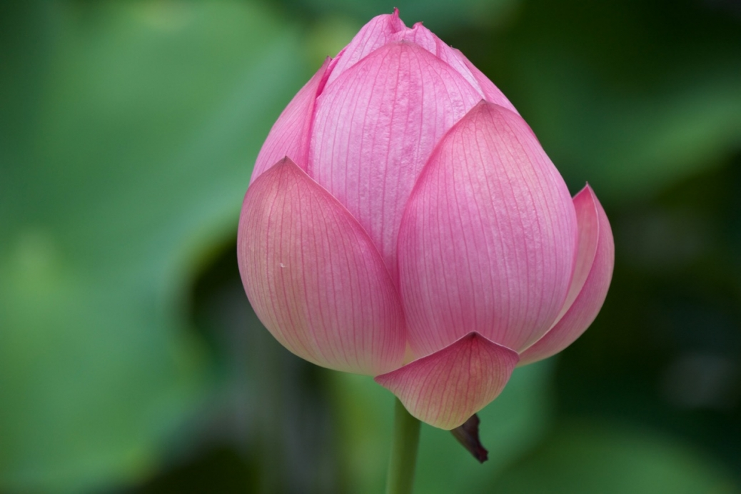 Kyoto Japan Lotus