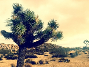 The famous Joshua Tree