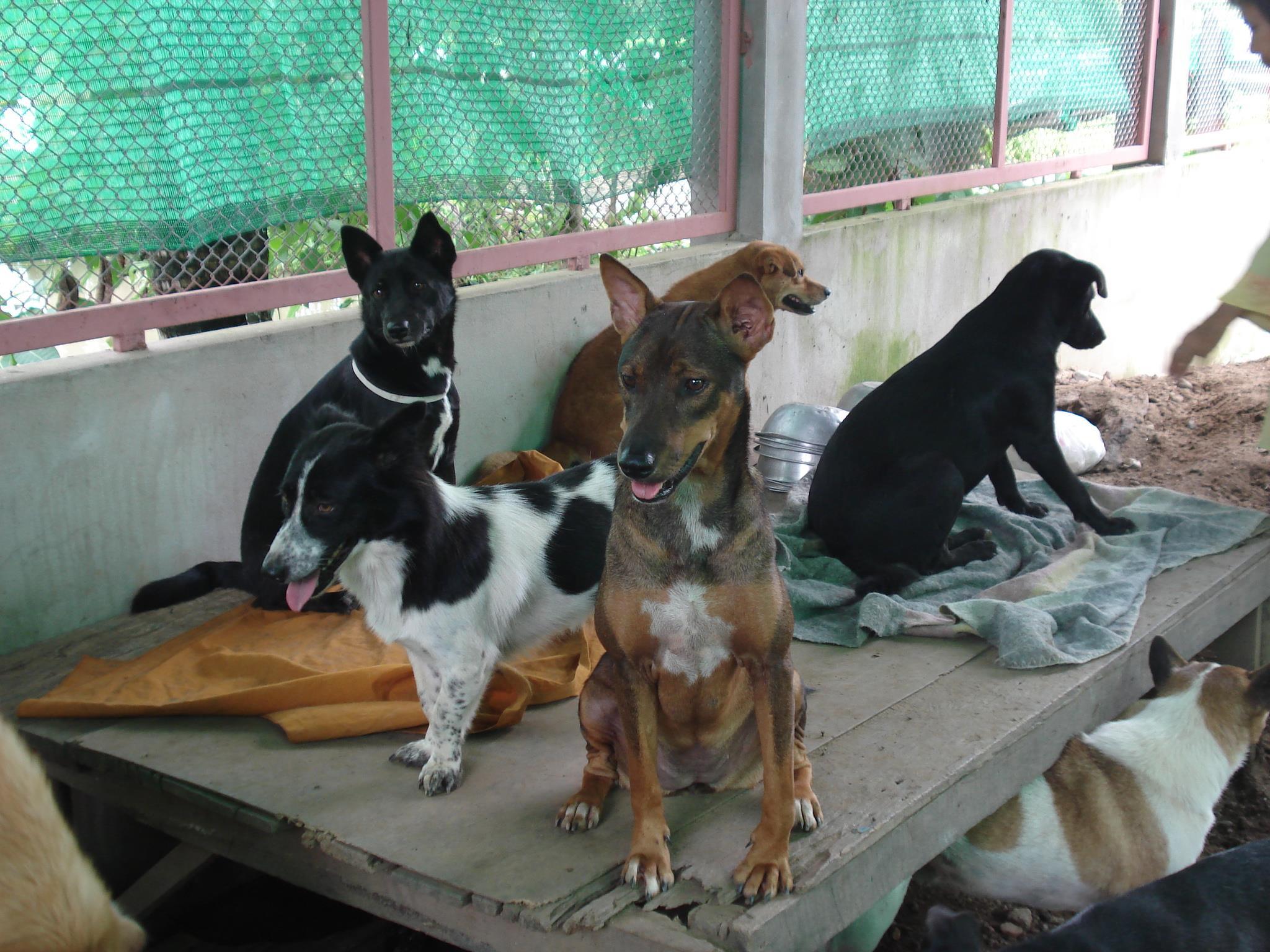 Santisook Dog and Cat Rescue Vegan Traveler Reviews Vegan Travel