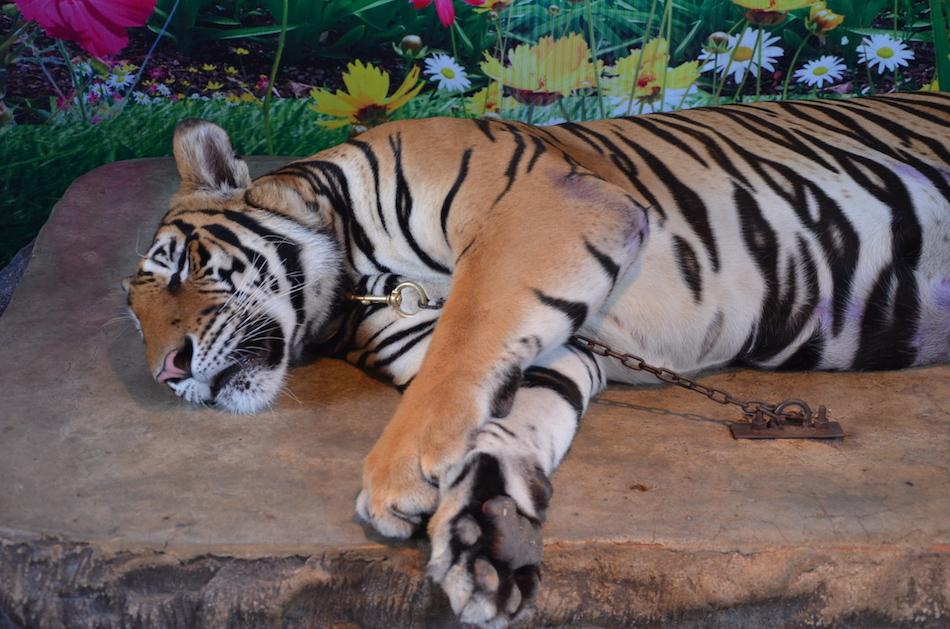 Tiger online dating