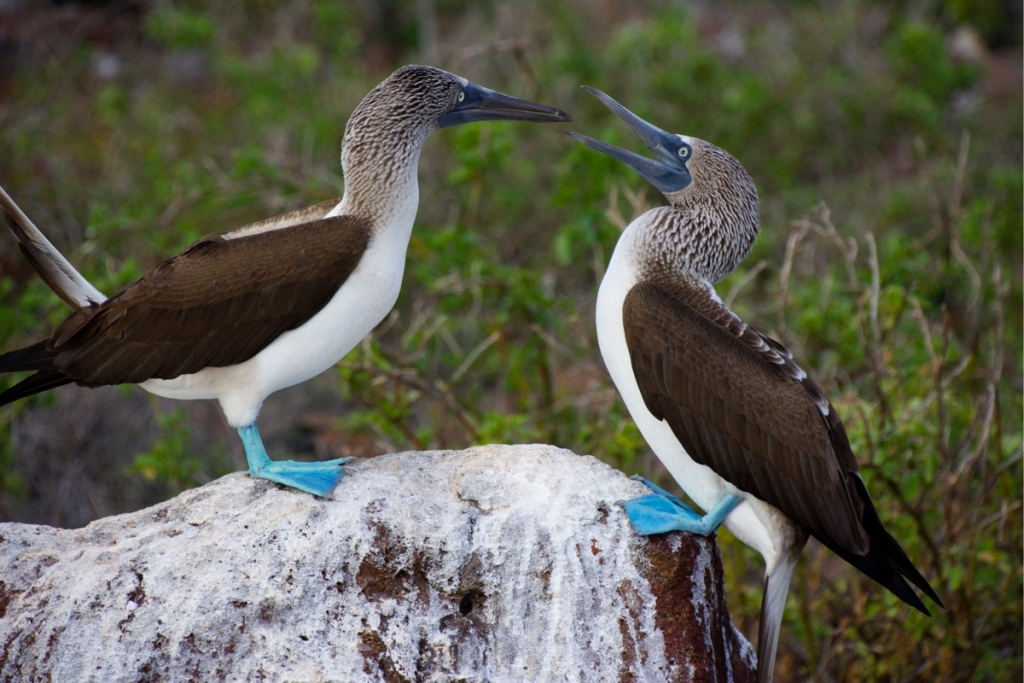 Blue Footed Boobies on North Seymour