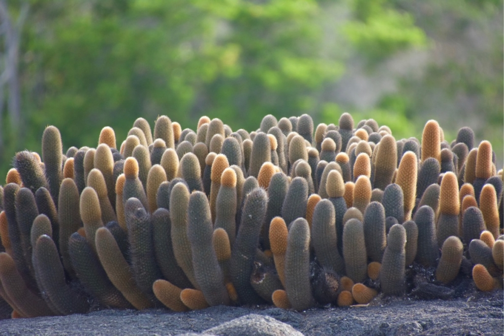 Cacti on Punta Espinoza