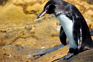 Galápagos Penguin on Punta Vicente Roca