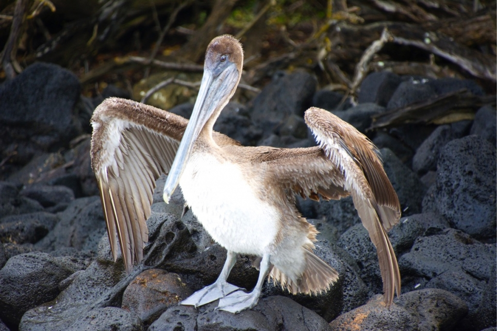 Pelicans on Espumilla Beach, Santiago Island