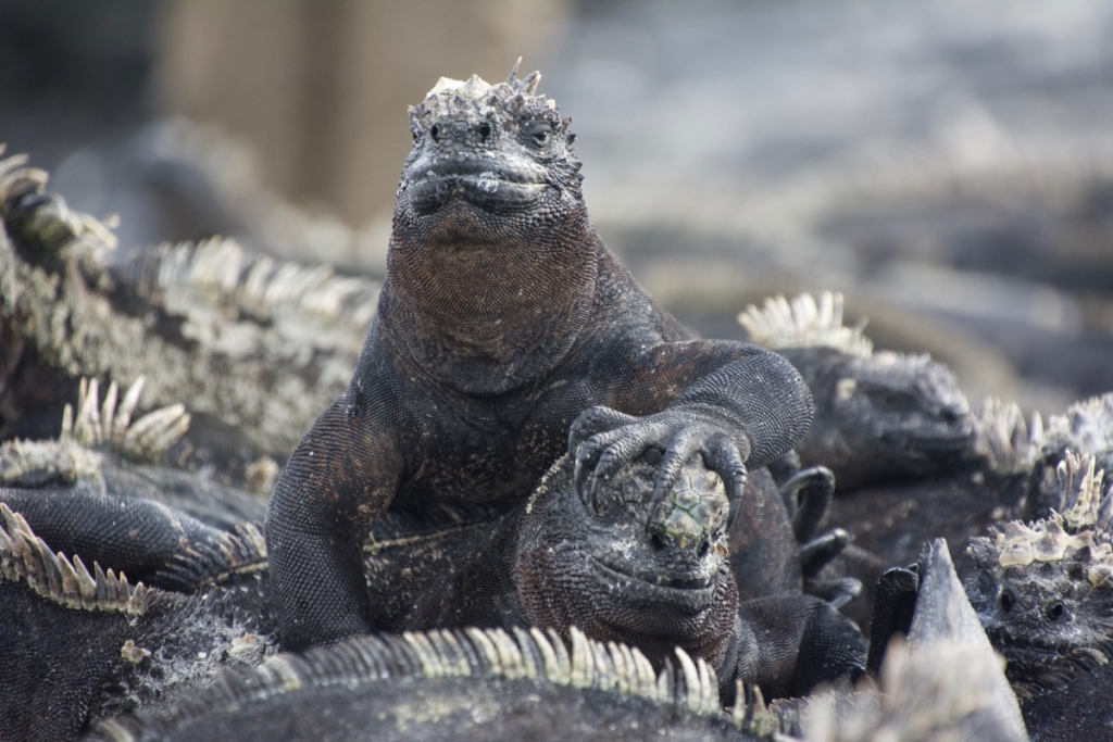Sea iguanas on Punta Espinoza