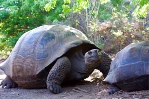 Galápagos Tortoises by Urbina Bay on Isabela Island