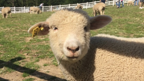 Sheep Farm – is it Vegan-friendly?