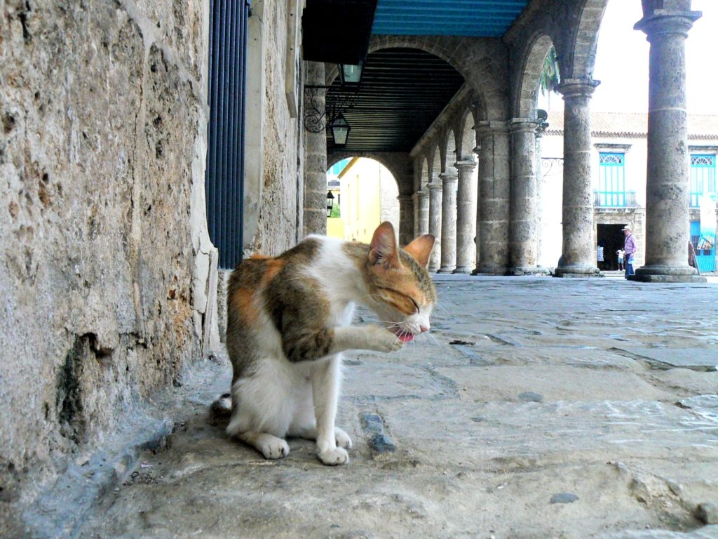 cat in La Habana