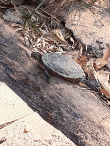 Terrapin sits on a log