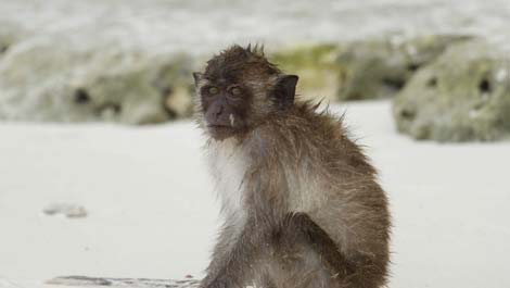 Koh PhiPhi monkey