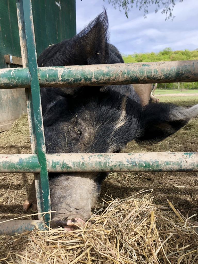 "Audrey, one of two pigs rescued by Catskill Animal Sanctuary as seen in ""The Last Pig""."